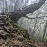 Irregular tree in Yakushima's forest.