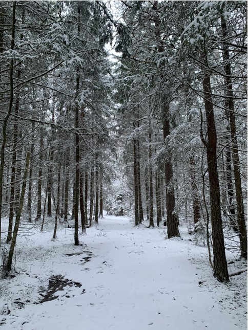 snowy trail through forest with tall trees during daytime