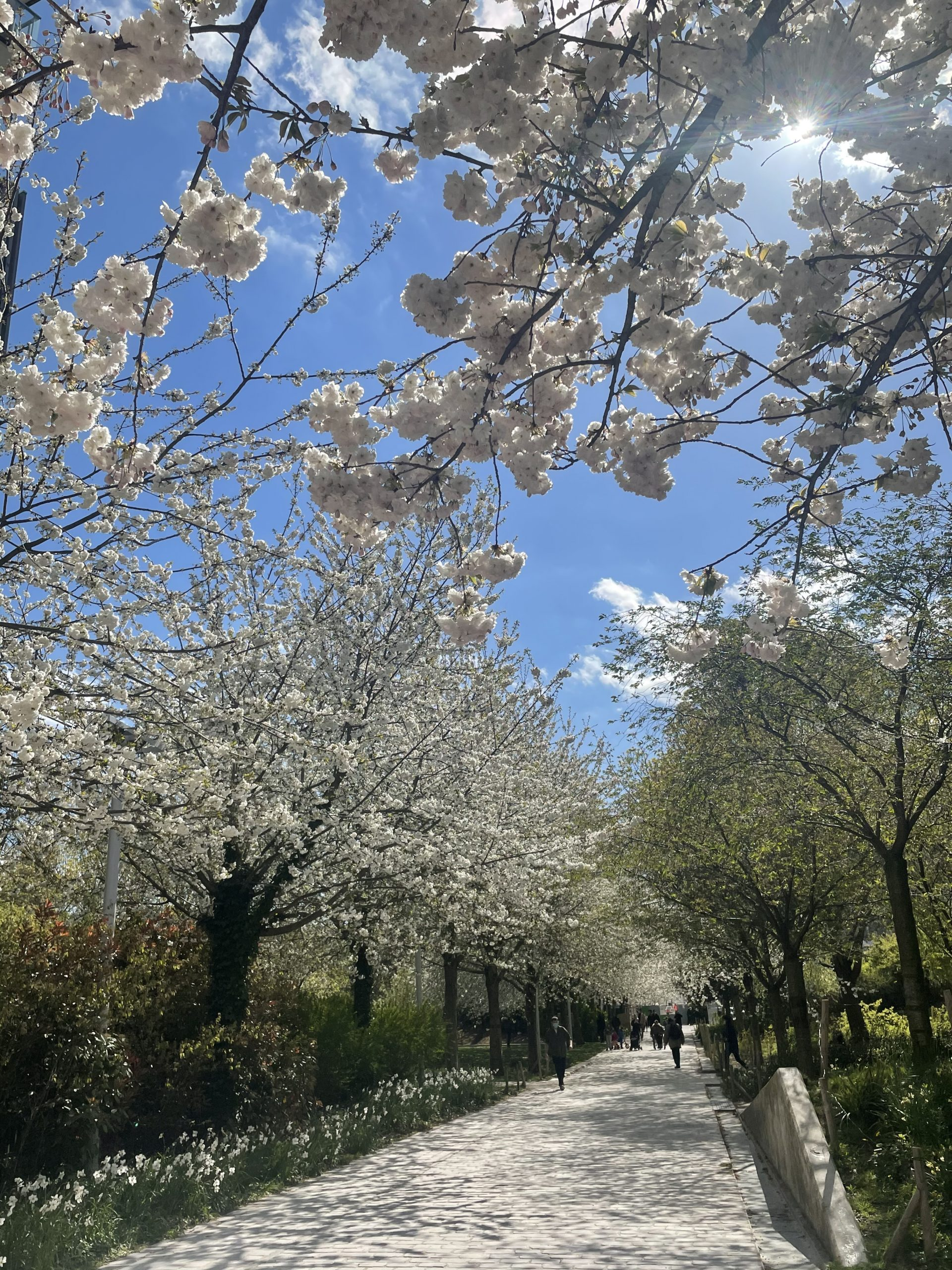 walkway lined with white flowering trees outside during daytime